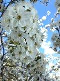 Cereja na flor Imagem de Stock