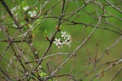 Cereja na flor Fotos de Stock