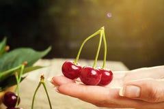 Cereja na mão Tabela de madeira de Cherrieson Cereja vermelha Cerejas doces frescas com gotas da água, fim acima conceito saudáve Fotos de Stock