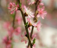 Cereja na primavera e abelhas que trabalham bem imagem de stock