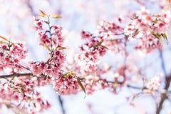 Cereja ou flor Himalaia selvagem de sakura Fotografia de Stock Royalty Free