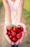 Cereja pequena do fruto brasileiro orgânico do Acerola à disposição imagens de stock royalty free