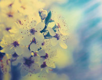 Cereja que floresce, fundos da mola da beleza Fotos de Stock