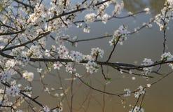 Cereja selvagem de florescência Mola adiantada fotos de stock royalty free