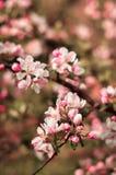 Cereja ucraniana de florescência bonita Fundo com flores sobre Fotos de Stock Royalty Free