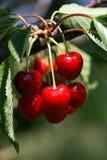 Cereja vermelha Imagens de Stock Royalty Free