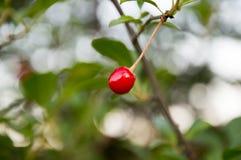 Cereja vermelha Imagens de Stock