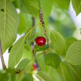 Cereja vermelha Foto de Stock Royalty Free