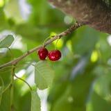 Cereja vermelha Imagem de Stock
