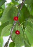 Cereja vermelha Imagem de Stock Royalty Free
