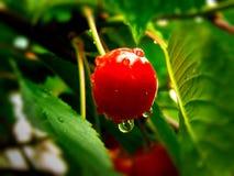 A cereja vermelha com água deixa cair nela fotos de stock royalty free