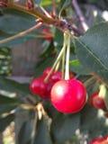 Cereja vermelha em um ramo com folhas Imagens de Stock