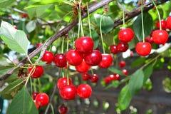 Cereja vermelha madura em um ramo com folhas verdes imagens de stock