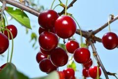 Cereja vermelha madura em um ramo com folhas verdes imagem de stock