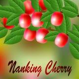 Cereja vermelha, suculenta, doce de Nanking em um ramo para seu projeto Vetor Imagens de Stock Royalty Free