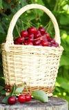 Cerejas ácidas na cesta fotografia de stock royalty free