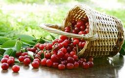 Cerejas ácidas surpreendentes fotografia de stock