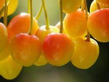 Cerejas amarelas e vermelhas fotografia de stock