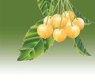 Cerejas amarelas frescas Foto de Stock Royalty Free
