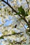 Cerejas com abelha Foto de Stock Royalty Free