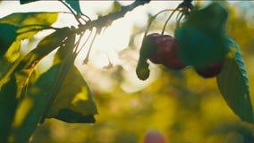 Cerejas da colheita da mão da mulher filme