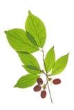 Cerejas de cornalina (mas do Cornus) imagem de stock royalty free