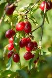 Cerejas de cornalina vermelhas maduras no ramo foto de stock