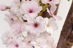 Cerejas decorativas na flor Imagens de Stock Royalty Free