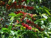 Cerejas do café em uma árvore de café em Boquete fotos de stock royalty free