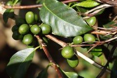 Cerejas do café no arbusto do café imagens de stock