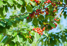 Cerejas doces Fotos de Stock