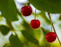 Cerejas doces, cheries frescos na árvore, ramo de árvore da cereja Fotografia de Stock Royalty Free