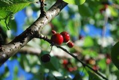Cerejas em um ramo ensolarado Imagem de Stock