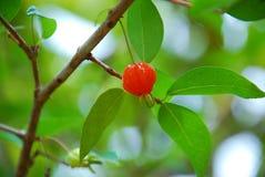 Cerejas em uma árvore Imagem de Stock