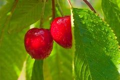 Cerejas em uma árvore com água-gotas Imagens de Stock