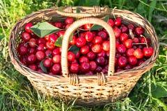 Cerejas em uma cesta Fotografia de Stock Royalty Free