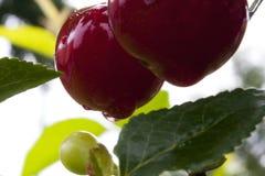 Cerejas frescas Imagens de Stock Royalty Free
