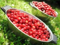 Cerejas frescas fotografia de stock