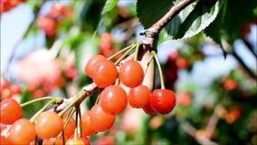 Cerejas frescas, maduras, vermelhas, deliciosas em uma ?rvore de cereja Os ramos e as folhas de ?rvore da cereja balan?am do vent video estoque