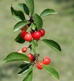 Cerejas frescas na árvore Imagens de Stock Royalty Free