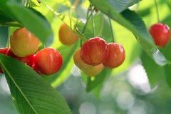 Cerejas Fruity fotos de stock