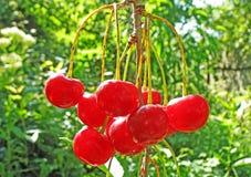 Cerejas maduras. Foto de Stock Royalty Free