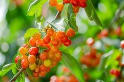 Cerejas maduras e verdes que penduram de um ramo com folhas verdes Imagem de Stock Royalty Free
