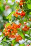Cerejas maduras e verdes que penduram de um ramo com folhas verdes Fotografia de Stock Royalty Free