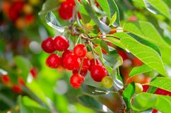 Cerejas maduras e verdes que penduram de um ramo com folhas verdes Fotos de Stock