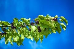 Cerejas maduras em um ramo da cereja Fotos de Stock