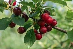 Cerejas maduras em um ramo no pomar imagem de stock