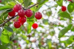 Cerejas maduras em uma árvore Fotos de Stock