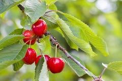 Cerejas maduras em uma árvore Imagens de Stock Royalty Free