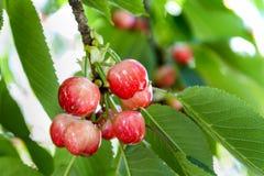 Cerejas maduras na árvore Imagem de Stock Royalty Free